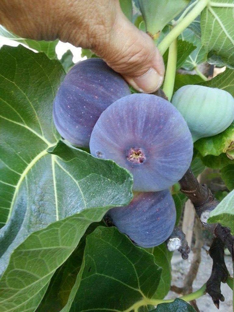 Kỹ thuật trồng cây sung mỹ vừa làm cảnh vừa ăn trái