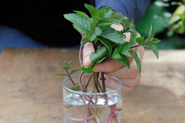 Cách trồng cây bạc hà