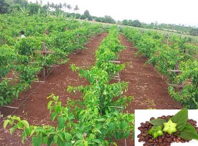 Cách trồng cây sachi