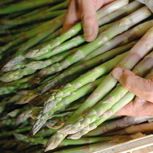 Cách trồng măng tây