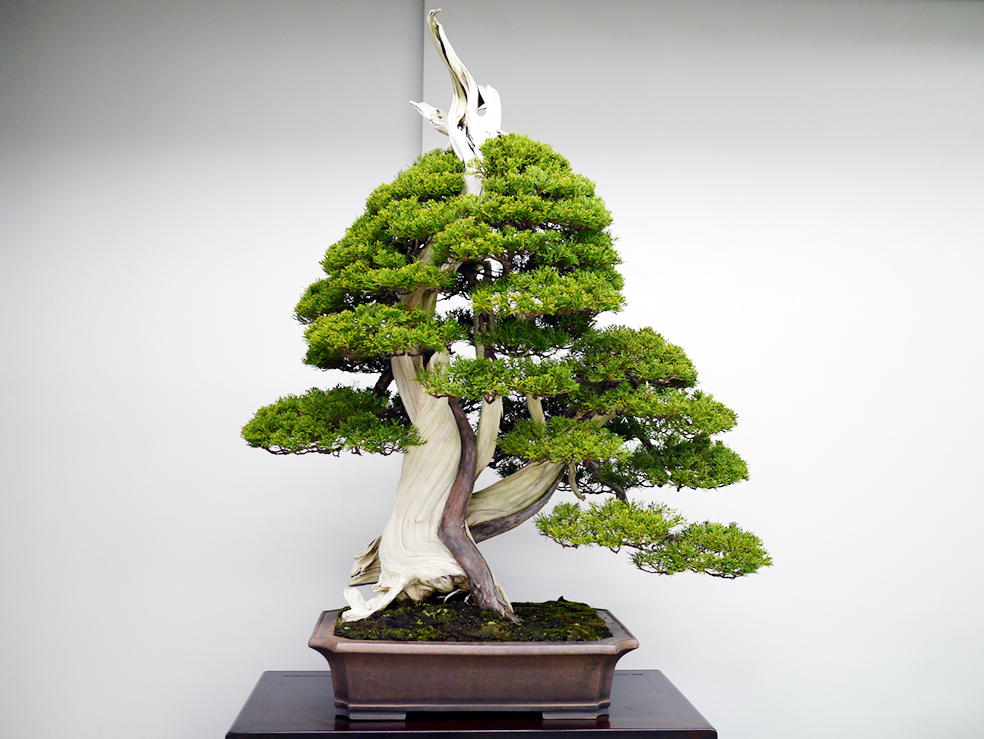 Tạo chi thứ cấp cho cây cảnh bonsai