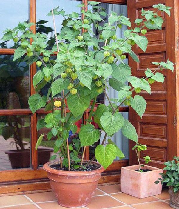 Cách trồng cây tầm bóp