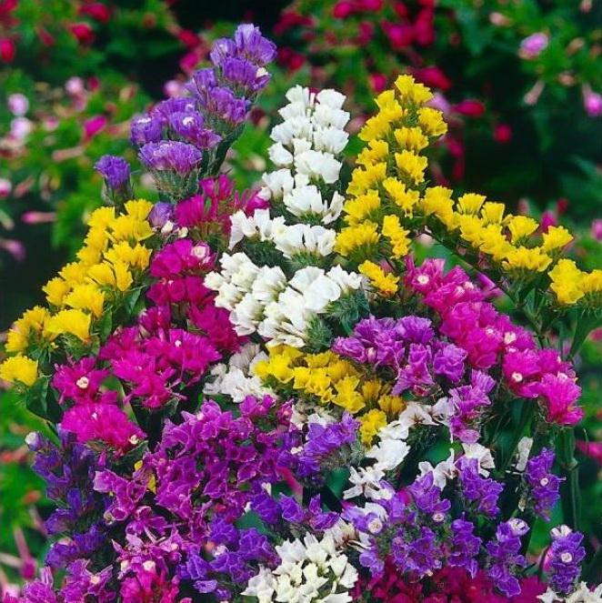 Cách trồng hoa Salem