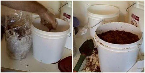 Cách trồng nấm kim châm