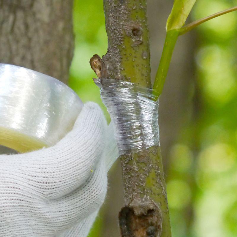 Ghép cây sử dụng băng quấn mối ghép tự dính
