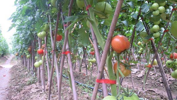 Giàn cà chua sử dụng dụng cụ buộc dây