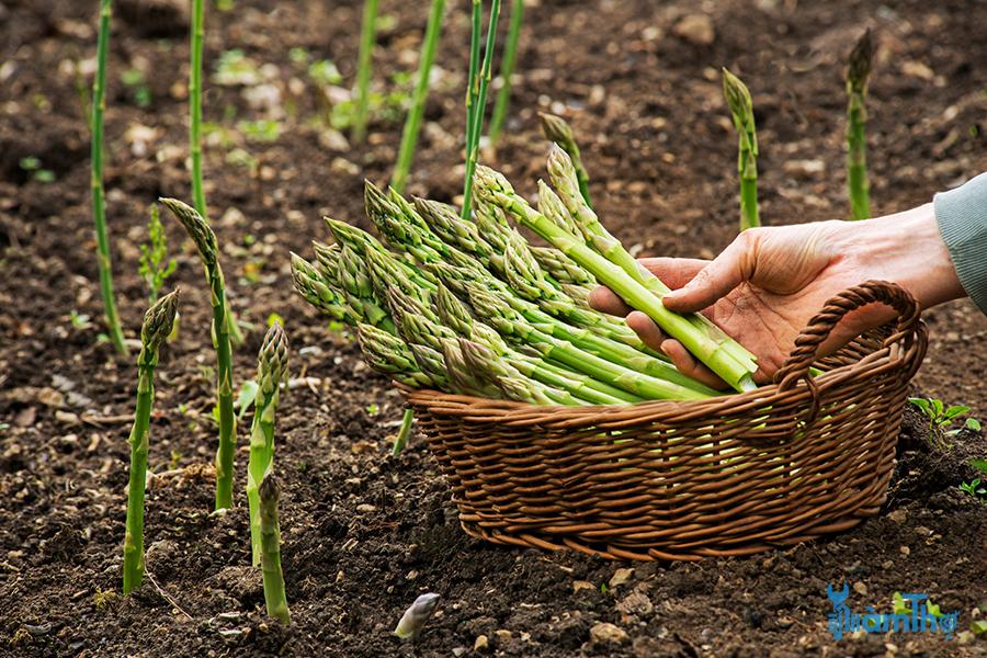 Mẹo trồng và thu hoạch măng tây đúng cách đúng thời điểm
