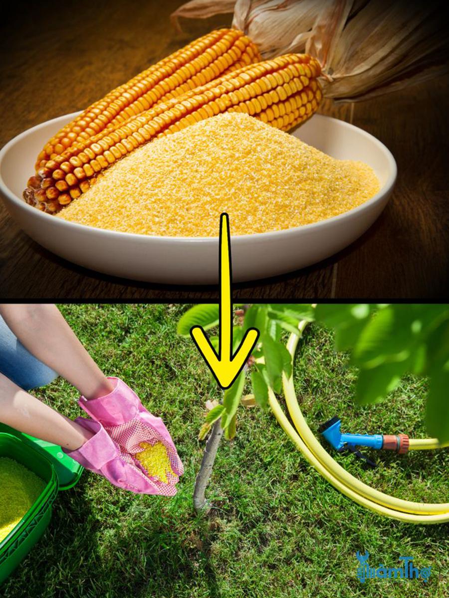 Rắc bột ngô trên khắp khu vườn để tiêu diệt cỏ dại