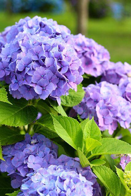 Ý nghĩa và biểu tượng hoa cẩm tú cầu