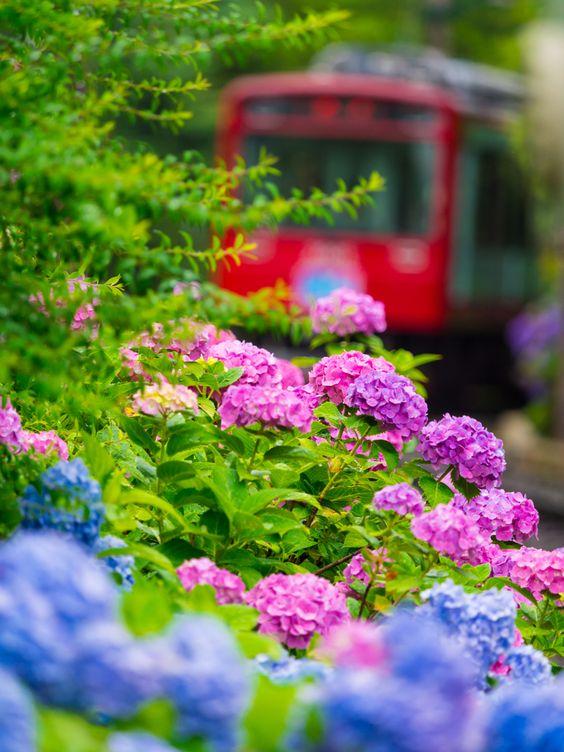 Thưởng thức những bài thơ hay về hoa cẩm tú cầu