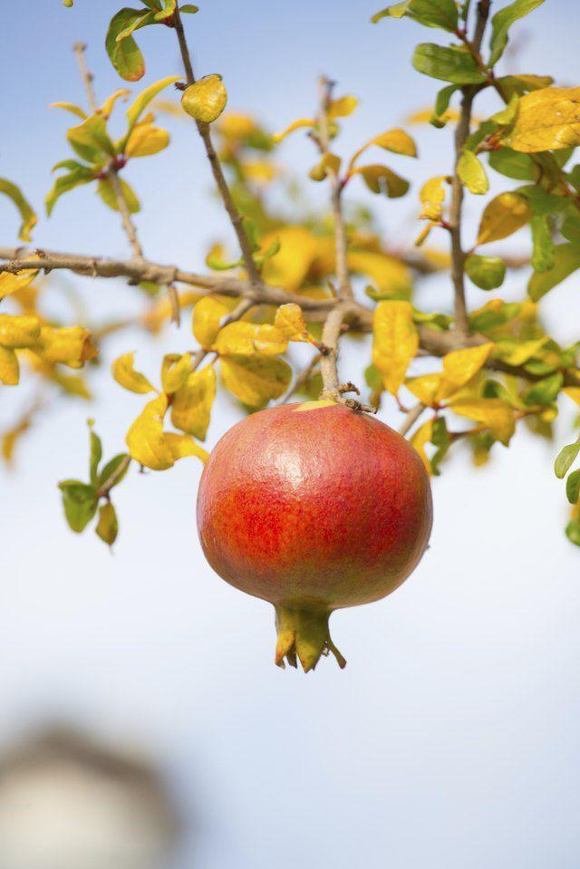 Bí kíp cắt tỉa cây lựu bonsai tạo hình dáng đẹp
