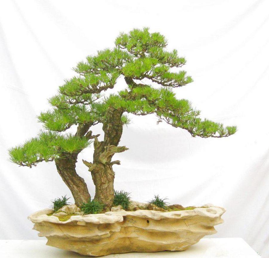 Hướng Dẫn Cach Trồng Bonsai đẹp Từ Rễ đến Ngọn