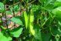 Cách trồng cây đậu rồng