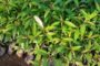 Cách trồng cây hoàn ngọc