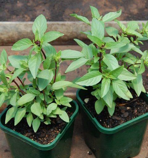 Cách trồng cây húng quế