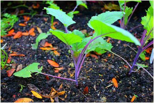 Cách trồng su hào tím
