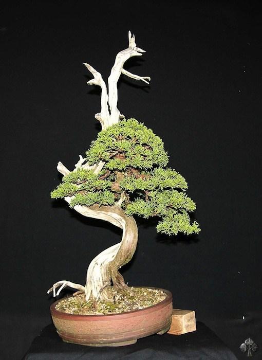 Kỹ thuật lão hóa bonsai