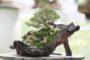 Lưu ý khi trồng bonsai trong nhà