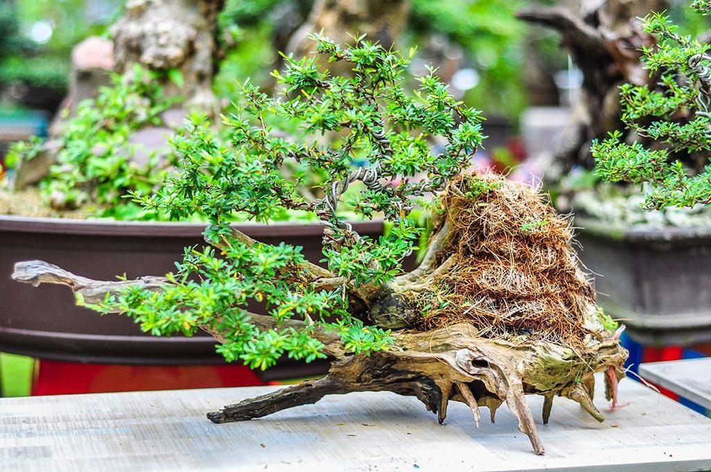 Tạo hình cây cảnh bonsai