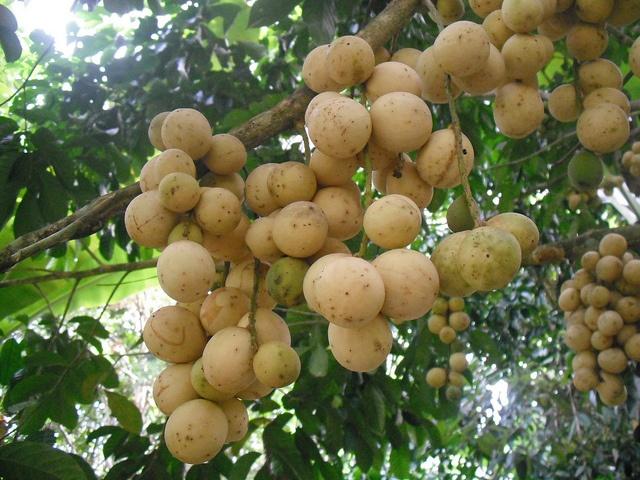 Hướng dẫn cách trồng cây bòn bon