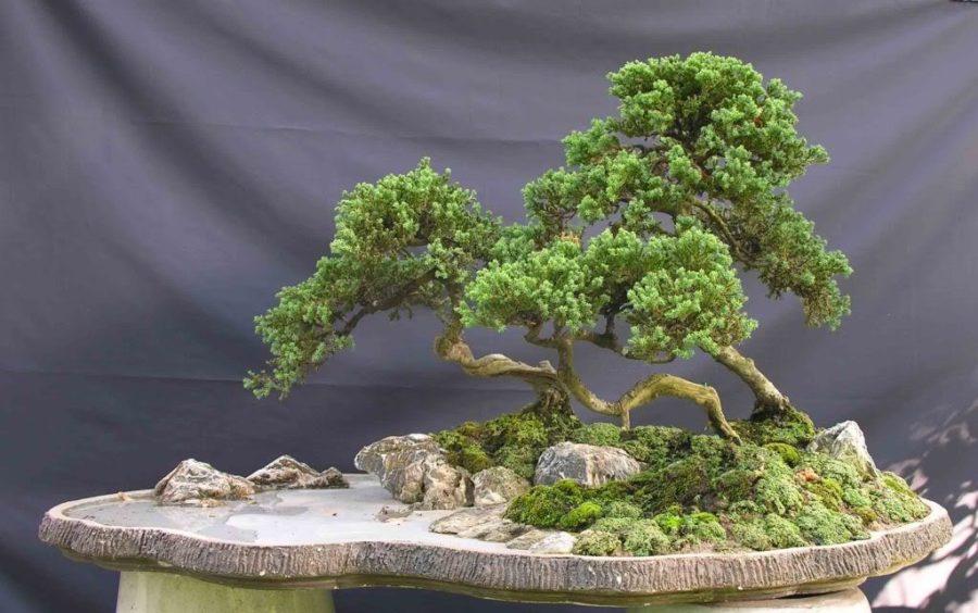 Cách tạo rêu bonsai cho cây cảnh nghệ thuật