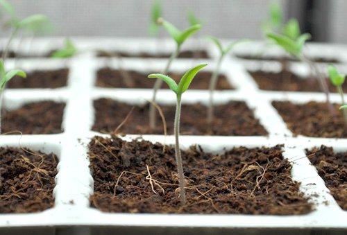 Cách trồng cây cà chua bi tại nhà
