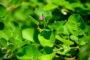 Kỹ thuật trồng cây Kim tiền thảo