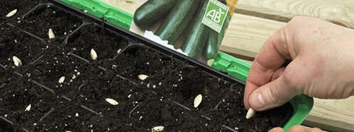 Cách trồng cây dưa chuột tại nhà
