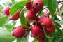 Cách trồng cây ổi sim tím Nhật