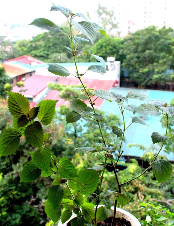 Cách trồng cây tía tô chữa bệnh vặt