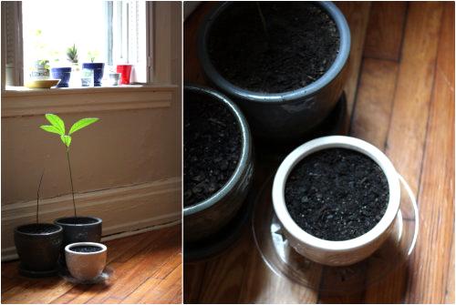 Cách trồng gừng sạch tại nhà