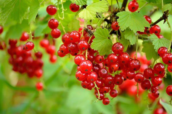 Cách trồng cây nho chuỗi ngọc
