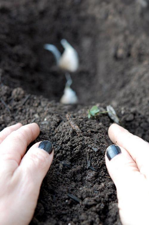 Tuyệt chiêu trồng tỏi tại nhà