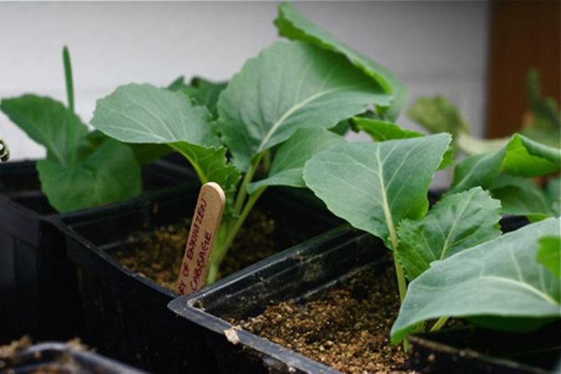 Tuyệt chiêu tự trồng bắp cải trong thùng xốp ngay tại nhà