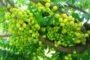 Hướng dẫn cách trồng cây chùm ruột