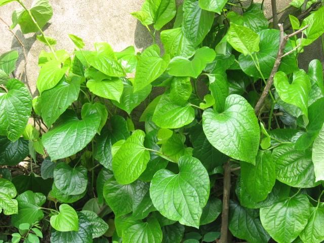 Cách trồng cây lá lốt