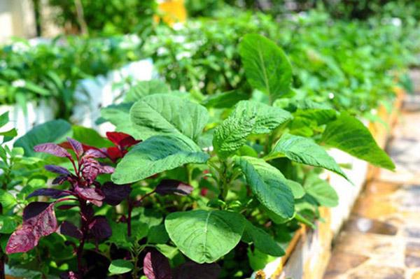 Cách trồng rau dền tại nhà