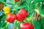 Cách trồng ớt chuông tại nhà