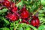 Cách trồng cây atiso đỏ