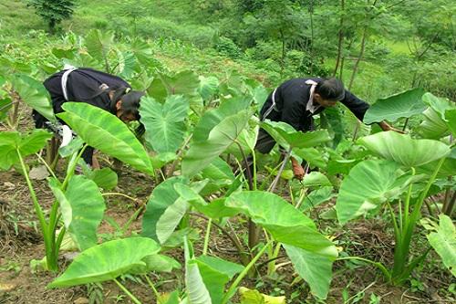 cách trồng cây khoai sọ