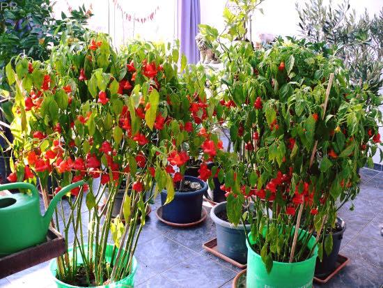 Cách trồng cây ớt chuông hoa hồng