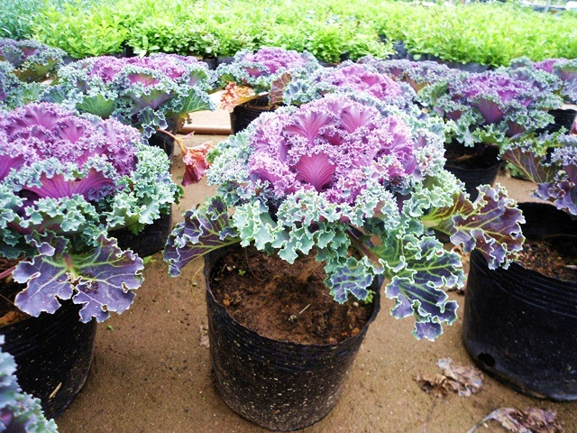 Cách trồng bắp cải tím