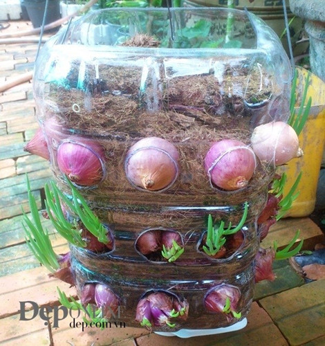Hướng dẫn cách trồng hành tím tại nhà