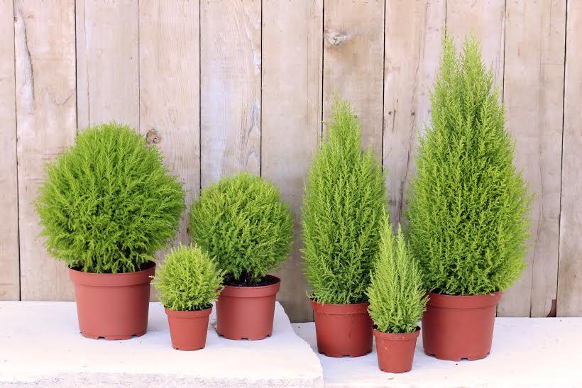 Kỹ thuật trồng và chăm sóc cây tùng thơm