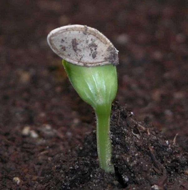Cách trồng cây bí ngồi tại nhà