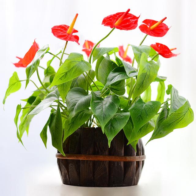 Cách trồng và chăm sóc cây hồng môn