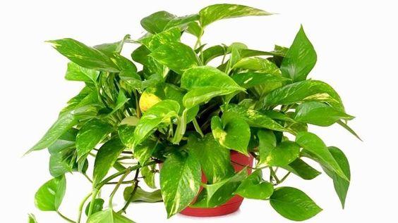Cách trồng cây vạn niên thanh