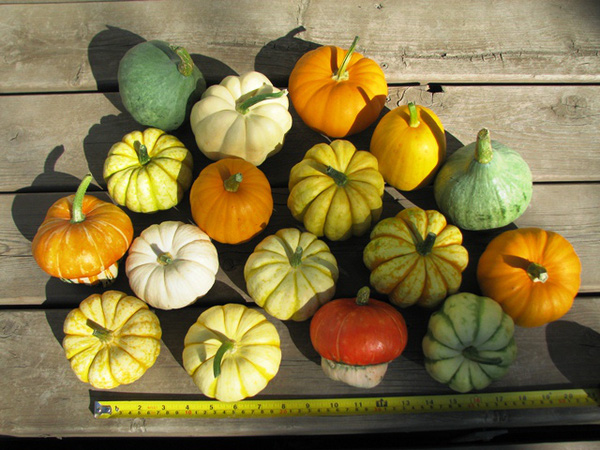 Cách trồng bí ngô mini