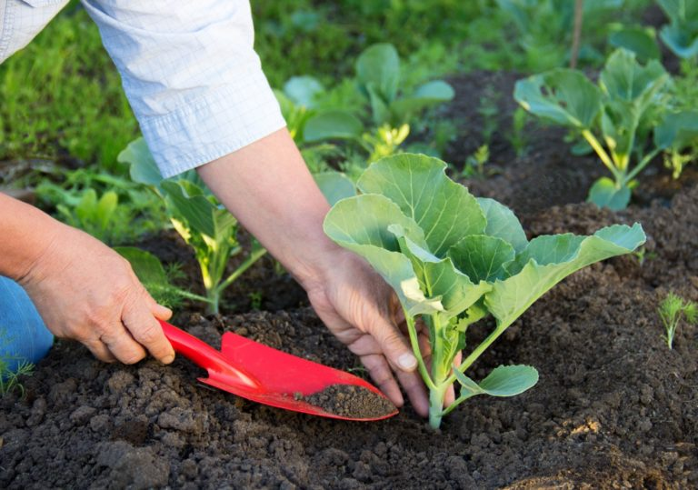 Kinh nghiệm bón phân cho rau sạch hiệu quả