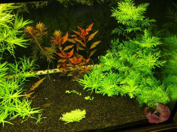 Tìm hiểu về cây thủy cúc